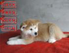 哪里有出售纯种日本秋田犬是很正多少钱一只