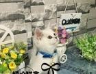 英国短毛猫蓝白幼猫纯种英短宠物猫纯种活体英短蓝猫