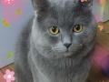 不收费,免费帅气英短公猫借配,给只小崽即可!