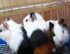自家繁殖老鼠兔出售