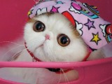 加菲猫幼崽宠物猫活物纯种异国短毛猫波斯猫
