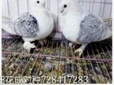 专业电焊鸽笼,55收杀货,出售各种信鸽观赏鸽