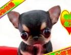 吉娃娃犬待售中京津冀送狗上门种公对外借配