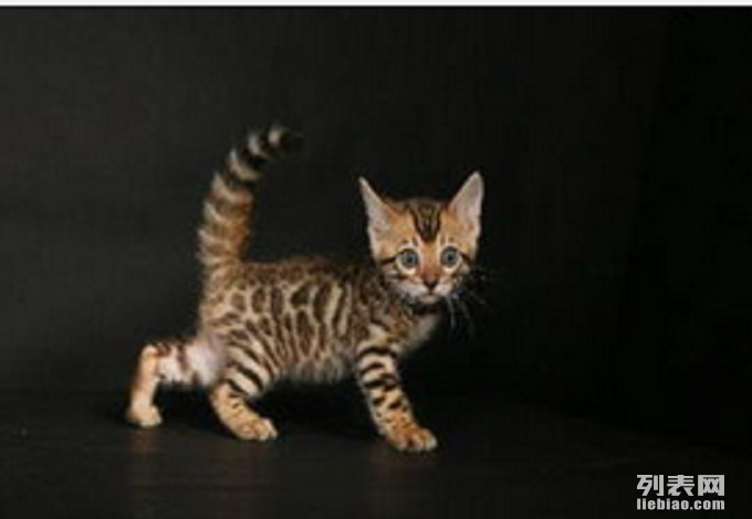 品种:孟加拉豹猫 年龄:2个月 本猫舍是以家庭方式饲养繁育猫咪.有着严格的繁育和喂养规则 每只小猫在我眼里都是独一无二的天使,希望新主人能给它们幸福的喵生 我家养大孟豹3月5日生的2个小豹 花纹清晰 对比度好  照片没有PS 也没有盗图 完全真实大猫小猫比照片更好看具体可以电话 咨询 谢谢