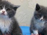 精品纯种蓝猫 喜欢养猫的亲们看这里
