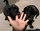 黄金血系纯种拉布拉多幼犬 健康纯种高品质