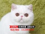 加菲猫宠物猫异国短毛猫 活体 红白净樊红