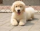 兰州纯种金毛价格 兰州哪里能买到纯种金毛犬