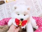 重庆本地出售纯种萨摩耶犬 上门六折 当面挑选 包退换 签协议