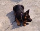 犬只不良行为纠正 军犬训练