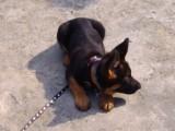 犬只不良行為糾正 軍犬訓練
