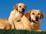 拉布拉多血统犬 拉布拉多最新价格 幼犬 拉布拉多哪里有卖的