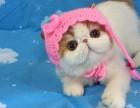 金吉拉宠物猫 淘宝店铺搜:双飞猫
