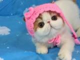 杭州南京苏州宁波布偶折耳波斯短毛猫宠物猫 双飞猫