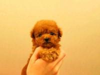 西安狗狗之家长期出售高品质泰迪 比熊 博美 巴哥售后无忧