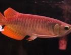 出售辣椒红龙鱼,印尼红龙鱼,品相非常好