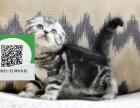 天津哪里有折耳猫出售 天津折耳猫价格 折耳猫多少钱