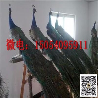 南通天鹅鸵鸟孔雀繁殖农林局特批养殖基地