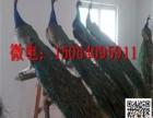 儋州天鹅鸵鸟孔雀繁殖纯种优质签证包活