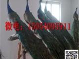 嘉兴天鹅鸵鸟孔雀繁殖纯种优质签证包活