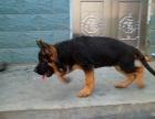 狗场直销纯种锤系德国牧羊犬幼犬 看家护卫警犬