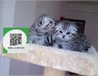 天津哪里有折耳猫出售 天津折耳猫价格 天津宠物猫转让出售