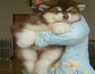 巨型阿拉斯加多少钱 大型阿拉斯加一只多少钱 哪里有卖熊版阿拉