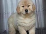 重庆金毛犬多少钱 重庆哪里出售金毛犬