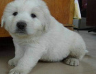 cku注册犬舍 双血统大白熊可上门挑选