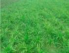 大量供应麦冬干麦冬鲜麦冬湿麦冬