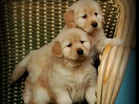 重庆最大狗场 金毛犬等品种三百起 特价直销世界名犬
