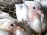 大量供应乳鸽人工鸽乳饲料,乳鸽料,0-7