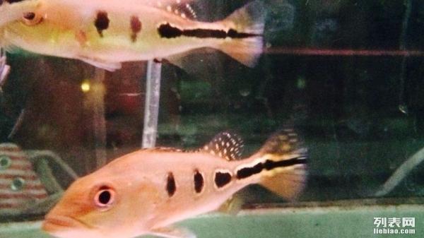 店转让血统纯正黄金巴西亚幼鱼