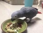 转让手养的刚果灰鹦鹉,凯克,折衷等各品种幼鸟 价格面议