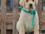 重庆哪里出售拉布拉多犬 重庆宠物店信誉好