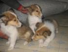 郑州本地犬舍繁殖精品,比熊犬,秋田犬,苏格兰牧羊犬,等多品种