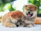 忠诚可靠的漂亮柴犬疫苗齐全品相好纯种健康