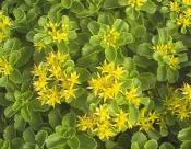 想买新品三七景天,就到昌盛花卉苗木 -宿根花卉种子