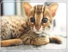 高品质 孟加拉豹猫 北京专业繁育 签协议 三针齐全