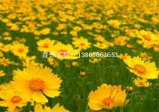 哪里有金鸡菊价格合理的大花金鸡菊实信花卉苗木供应
