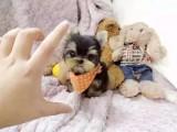 重庆出售约克夏犬 卖约克夏犬 约克夏