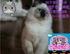 猫苑繁殖精品布偶猫 签协议包健康纯种