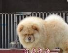 纯种松狮犬 漂亮的松狮犬 白色肉嘴松狮犬