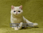 萌宠小加菲猫身体健康活泼可爱小加菲可上门
