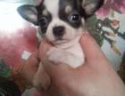 吉娃娃犬舍专业繁育墨西哥袖珍吉娃娃售超小体吉娃