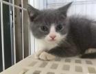 暹罗美短蓝猫布偶加菲孟加拉豹猫蓝白渐层折耳出售1