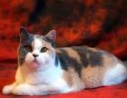 cfa注册纯种英短猫咪找新家