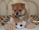 万州区柴犬价格三个月健康宠物 品质保证