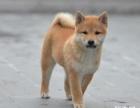 精品柴犬 CKU认证注册犬舍 保纯种健康