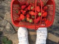 上海周边公司活动最佳去处 推荐采草莓钓大鱼 吃土菜游海边